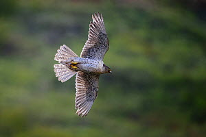 Gyrfalcon (Falco rusticolus) in flight, Seward Peninsula, Alaska, USA. June.  -  Gerrit  Vyn