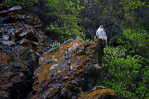 Gyrfalcon (Falco rusticolus) perched on rock, Seward Peninsula, Alaska. June.  -  Gerrit  Vyn