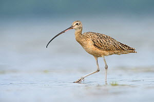 Long-billed Curlew (Numenius americanus). Grays Harbor, Washington. May.  -  Gerrit  Vyn