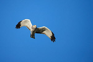 Male Northern Harrier (Circus cyaneus) in flight. Sublette County, Wyoming, USA. May. - Gerrit  Vyn