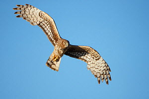 Female Northern Harrier (Circus cyaneus) in flight. Sublette County, Wyoming, USA. May. - Gerrit  Vyn