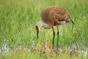Sandhill Crane (Grus canadensis) with two newly hatched chicks on a nest in a flooded pasture. Adult cranes actively teach or show their chicks food items to consume. Sublette County, Wyoming. May. - Gerrit  Vyn