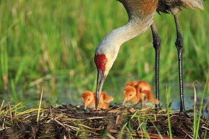 Sandhill Crane ( Grus canadensis) tending  two newly hatched chicks in  nest in a flooded pasture. Adult cranes actively teach or show their chicks food items to consume. Sublette County, Wyoming. May... - Gerrit  Vyn
