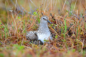 Semipalmated sandpiper (Calidirs pusilla) brooding newly hatched chicks on the nest. Yukon Delta National Wildlife Refuge, Alaska, USA. June. - Gerrit  Vyn