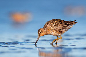 Short-billed Dowitcher (Limnodromus griseus) on mudflats. Grays Harbor County, Washington. May. - Gerrit  Vyn