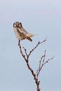 Northern Hawk Owl (Surnia ulula). Varanger, Norway. June. - Gerrit  Vyn