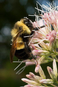 Rusty-patched bumble bee (Bombus affinis) male resting on Joe Pye Weed, Madison, Wisconsin, USA, Critically endangered  -  Clay Bolt
