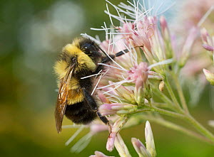 Rusty-patched bumble bee (Bombus affinis) male resting on Joe Pye Weed, Madison, Wisconsin, USA, Critically endangered.  -  Clay Bolt