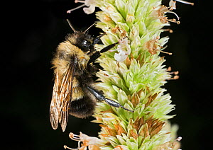 Dew-covered Rusty-patched bumble bee (Bombus affinis) male resting on flower, Madison, Wisconsin, USA, Critically endangered.  -  Clay Bolt