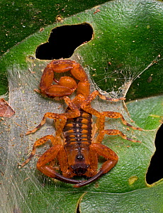 Scorpion (Tityus cerroazul) one of the most highly toxic species of scorpion in Central America. Cocobolo Nature Reserve, Panama. - Clay Bolt