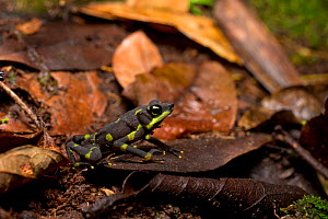 Limosa harlequin frog (Atelopus limosus) adult, in habitat, Cocobolo Nature Reserve, Panama. - Clay Bolt