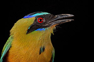 Blue-crowned motmot (Momotus coeruliceps), Cocobolo Nature Reserve, Panama.  -  Clay Bolt
