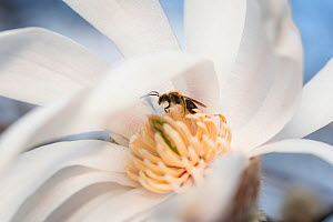 Mining bee (Andrena sp) resting within a saucer magnolia bloom, Madison, Wisconsin, USA, April. - Clay Bolt