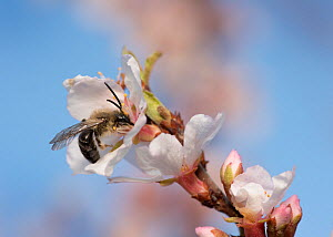 Mining bee (Andrena sp) feeding on a cherry blossom in early spring, Madison, Wisconsin, USA, April.  -  Clay Bolt