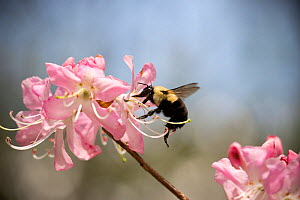 Common eastern bumblebee (Bombus impatiens) queen, gathering nectar from an Azalea, Highlands, North Carolina, USA, May.  -  Clay Bolt