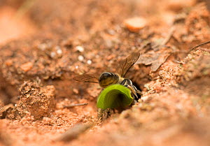 Leafcutter bee (Megachile) female returning to her nest with a small circular piece of leaf. Pickens, South Carolina, USA.  -  Clay Bolt