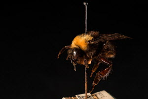Franklin's bumblebee (Bombus franklini), photographed at the Smithsonian Museum of Natural History, Washington DC. This is the first known species of North American bumble bee that is suspected to hav...  -  Clay Bolt