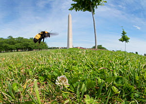 Black and gold bumblebee (Bombus auricomus) flies in front of the Washington Monument on the National Mall, Washington DC, USA. - Clay Bolt