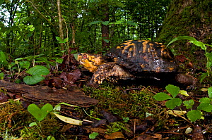 Eastern box turtle (Terrapene carolina carolina), Pickens, South Carolina, USA, May.  -  Clay Bolt