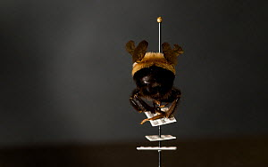 Rusty patched bumblebee (Bombus affinis) specimen rear view. Female worker in Great Smoky Mountains National Park's invertebrate collection. A species that has declined 87% in the past 15 years due pr...  -  Clay Bolt