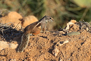 Barbary ground squirrel (Atlantoxerus getulus) Morocco. - Robin Chittenden