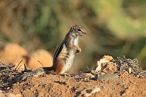 Barbary ground squirrel (Atlantoxerus getulus) standing on hind legs. Morocco. - Robin Chittenden