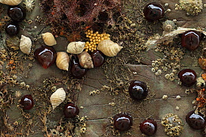 Beadlet anemone (Actinia equina) with Barnacles (Thoracica) Dog whelk (Nucella lapillus) Brittany, France. August 2014 - Robin Chittenden