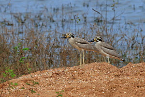 Great thick-knee (Burhinus recurvirostris) two standing side by side, Sri Lanka. - Robin Chittenden
