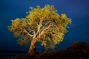 RF - Rowan (Sorbus aucuparia) with torch light, Mull, Scotland. (This image may be licensed either as rights managed or royalty free.) - Niall Benvie