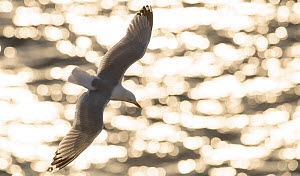 RF- Herring gull (Larus argentatus) against sparkling sea, Scotland. (This image may be licensed either as rights managed or royalty free.)  -  Niall Benvie