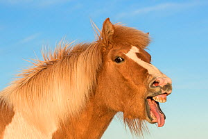 RF- Icelandic horse showing flehmen response, Iceland. July. (This image may be licensed either as rights managed or royalty free.) - Niall Benvie