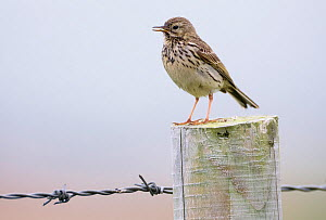 RF- Meadow pipit, (Anthus pratensis) on fence post, Islay, Scotland. (This image may be licensed either as rights managed or royalty free.)  -  Niall Benvie