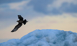 RF- Arctic skua, (Stercorarius parasiticus) in flight, Iceland. July. (This image may be licensed either as rights managed or royalty free.)  -  Niall Benvie