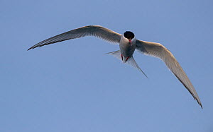 RF- Arctic tern (Sterna paradisaea) in flight, Iceland, July. (This image may be licensed either as rights managed or royalty free.) - Niall Benvie