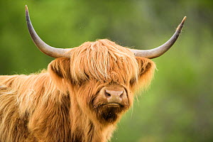 RF- Highland cow, Mull, Scotland. (This image may be licensed either as rights managed or royalty free.) - Niall Benvie