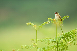 Sedge warbler (Acrocephalus schoenobaenus) perched on Bracken singing, Islay, Scotland - Niall Benvie