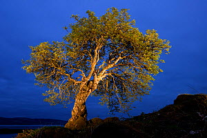 Rowan, painted with torch light, Mull, Scotland - Niall Benvie