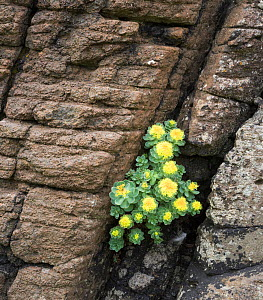 Roseroot (Rhodiola rosea) growing on cliffs, Lunga, Scotland, UK, May. - Niall Benvie