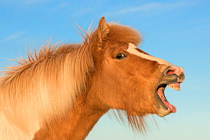 Icelandic horse with mouth open, Iceland - Niall Benvie