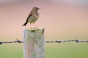 Meadow pipit (Anthus pratensis) perched on barbed wire, Islay, Scotland  -  Niall Benvie