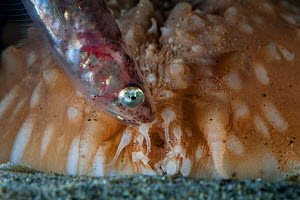 Pearlfish (Carapus acus) outside of host Sea cucumber (Stichopus regalis) at night. These species have a commensal relationship, with the fish living in the gut of the sea cucumber. Catalonia, Spain....  -  Jordi Chias