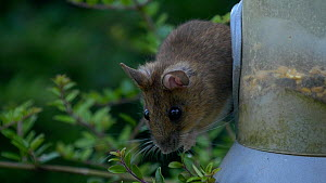 Wood mouse (Apodemus sylvaticus) feeding from a bird feeder, Carmarthenshire, Wales, UK. July.  -  Dave Bevan