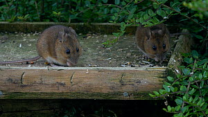 Two Wood mice (Apodemus sylvaticus) feeding on a bird table, Carmarthenshire, Wales, UK. July.  -  Dave Bevan