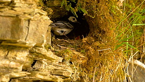 Pied wagtail (Motacilla alba) feeding chick, removes a faecal sac from nest, Carmarthenshire, Wales, UK. July.  -  Dave Bevan