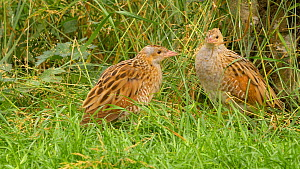 Pair of Corncrakes (Crex crex) interacting, one pecking the other, Norfolk, England, UK. July.  -  Dave Bevan