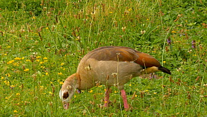 Egyptian goose (Alopochen aegyptiacus) grazing in a meadow, Norfolk, England, UK. July.  -  Dave Bevan