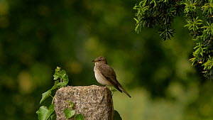 Spotted flycatcher (Muscicapa striata) perched on a grave stone, looking around and preening, Bedfordshire, England, UK. July.  -  Dave Bevan