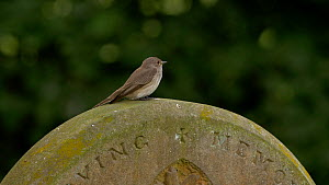Spotted flycatcher (Muscicapa striata) perched on a gravestone, takes off to catch a fly and returns to gravestone, Bedfordshire, England, UK. July.  -  Dave Bevan