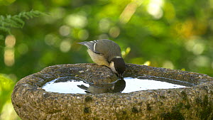 Great tit (Parus major) drinking from a bird bath, Carmarthenshire, Wales, UK. July.  -  Dave Bevan