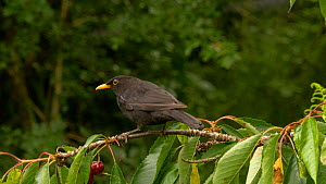 Male Common blackbird (Turdus merula) feeding on Cherry (Prunus avium) fruit, Carmarthenshire, Wales, UK. July.  -  Dave Bevan